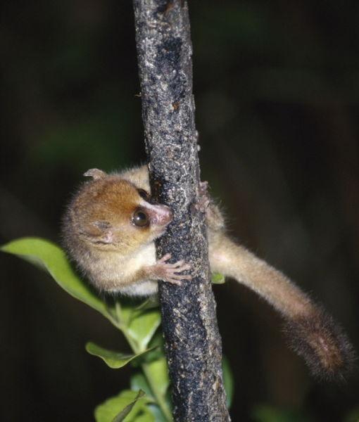 Mouse lemur: a little wonder of nature!