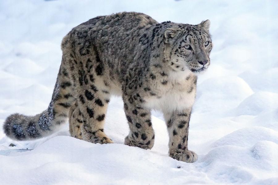 Création d'un sanctuaire pour les léopards des neiges au Kirghizistan