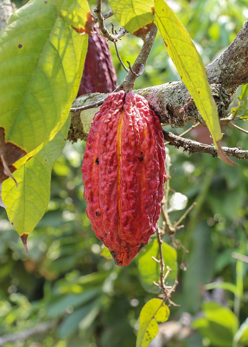 Le cacao de Madagascar, un cacao d'exception