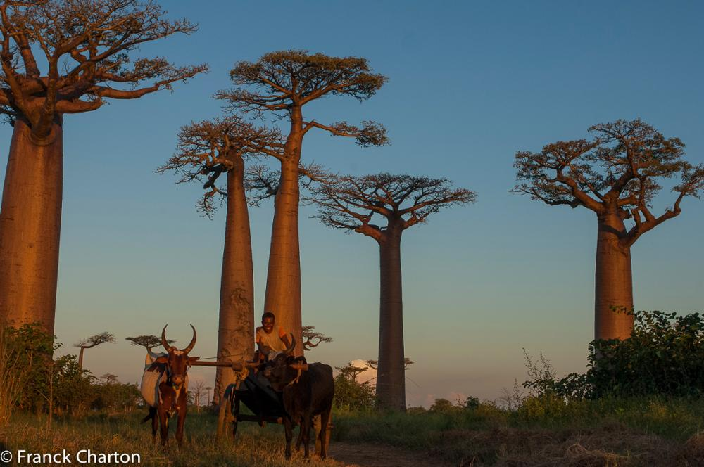 The baobab, the mythical tree of the Malagasy nature
