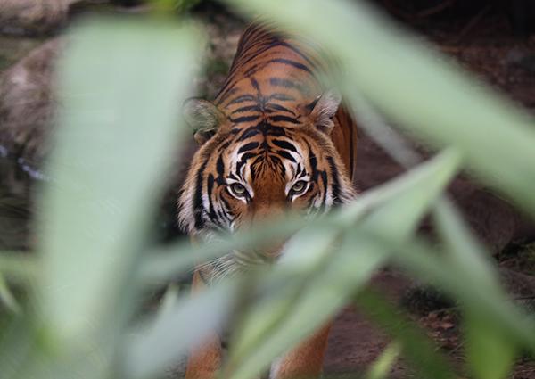Au Népal, la population de tigre sauvage se porte bien